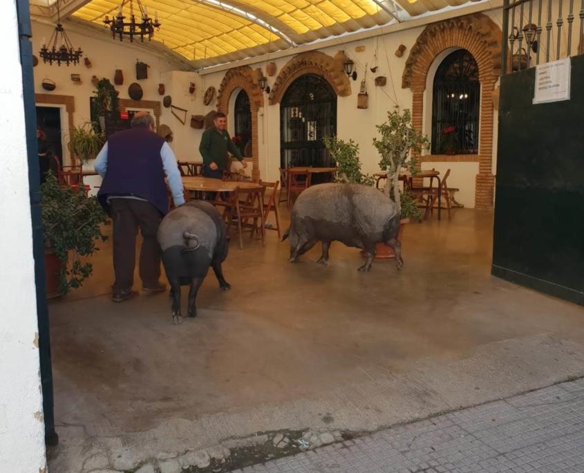 Paseo del cerdo por Trigueros